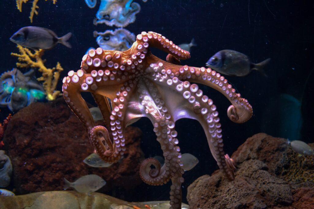 brown octopus octopus facts